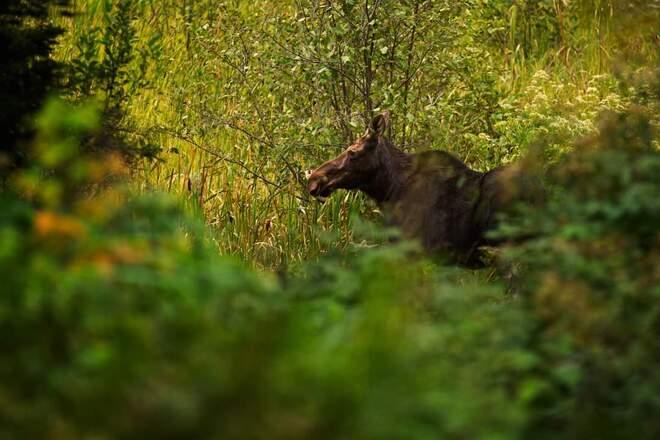cow moose Commanda, ON