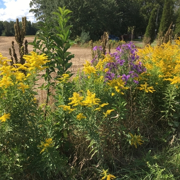 Vibrant fall wildflowers along our country road.