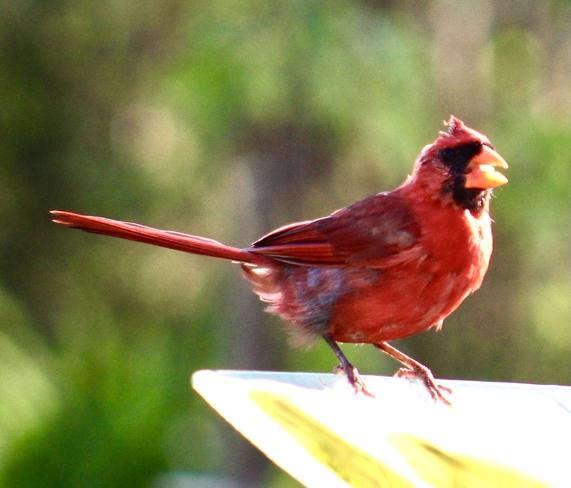 Male cardinal Etobicoke, Ontario, CA