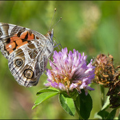 Butterfly, Elliot Lake.