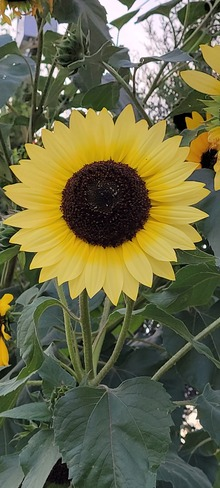stunning sunflower Etobicoke, ON