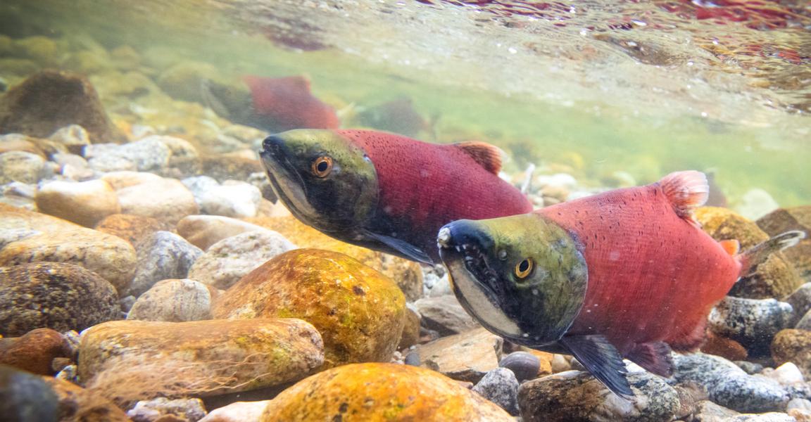 Salmon running from Kootenay Lake
