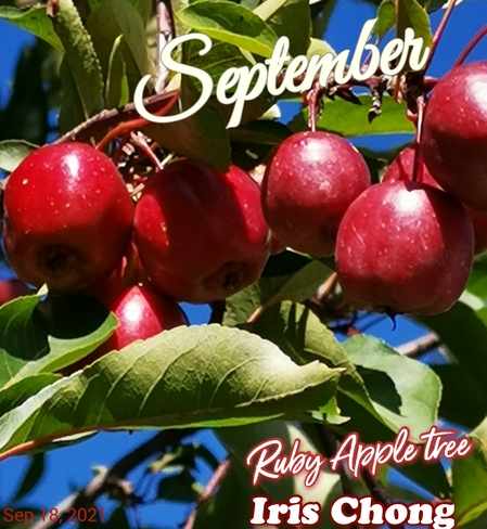 Sept 18 2021 22C Happy Saturday!:) Ruby Apple tree in Thornhill Thornhill, ON