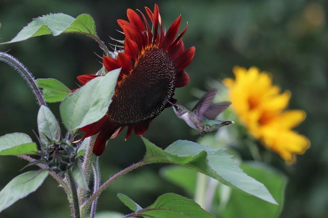 Hummingbird in sunflowers Novar, Ontario, CA