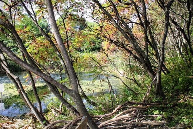 Sumac is changing colours . The pond at Fletchers wildlife garden . Ottawa, Ontario, CA