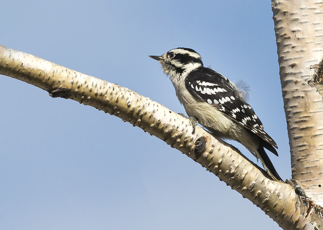 Downy Woodpecker, female Brampton, ON