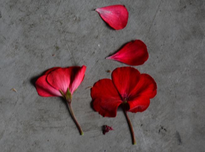 Fallen Geranium Petals Calgary