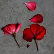Fallen Geranium Petals