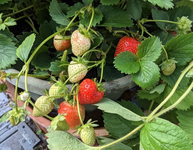 September strawberries! Vancouver, BC