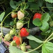 September strawberries!