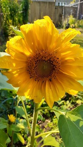 sunflower Thunder Bay, ON