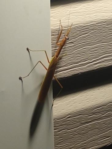 "Nice visitor at my door this evening. Praying Mantis ""Hello"" Welland, ON"