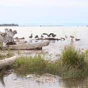 High tide and geese