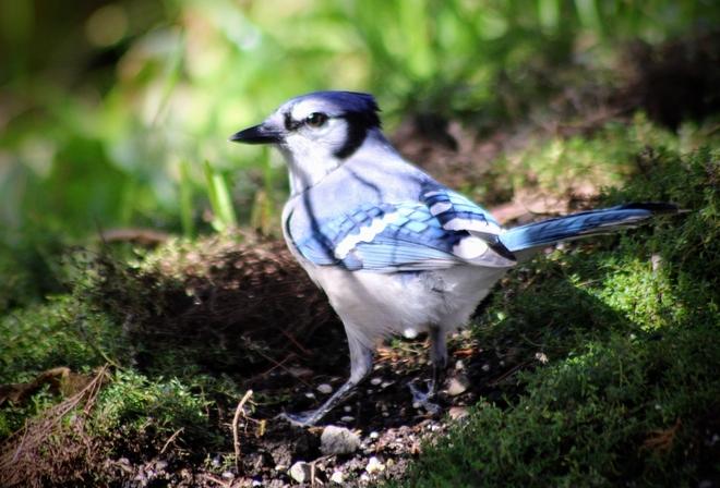 Blue jay Ottawa, Ontario, CA