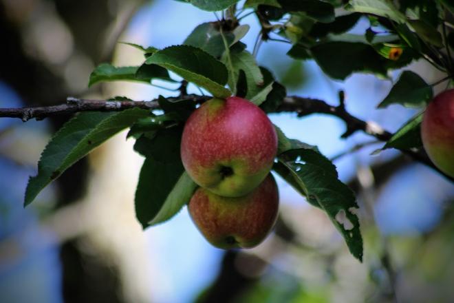 Apple season Ottawa, Ontario, CA