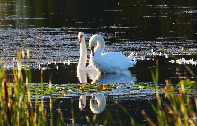 Mute Swans in Ingleside Ontario Ingleside, ON