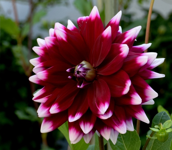 Another Gorgeous Purple Dahlia in My Wife's Garden 35 Melville St, Dundas, ON L9H 1Z7, Canada