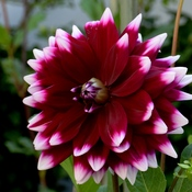 Another Gorgeous Purple Dahlia in My Wife's Garden