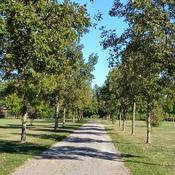 A promenade of burr oaks