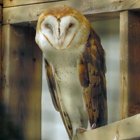 A Captive Barn Owl, residing at The Owl Foundation Vineland, Lincoln, ON