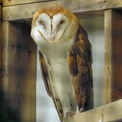 A Captive Barn Owl, residing at The Owl Foundation