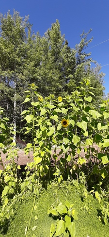 Sunflowers Geary, NB