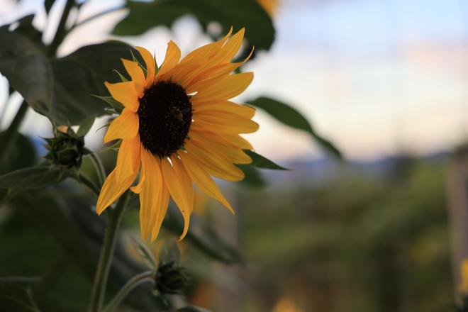 Sunflower Kelowna, British Columbia, CA