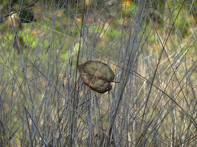 Fallen Leaf In Tall Grasses Sudbury, ON