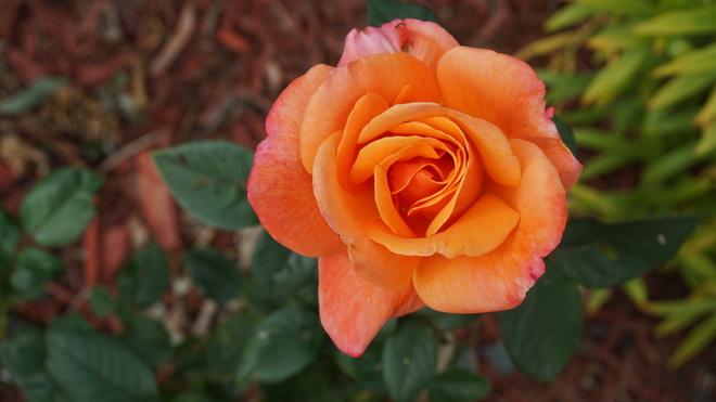 Unusual Rose Bush. Regina