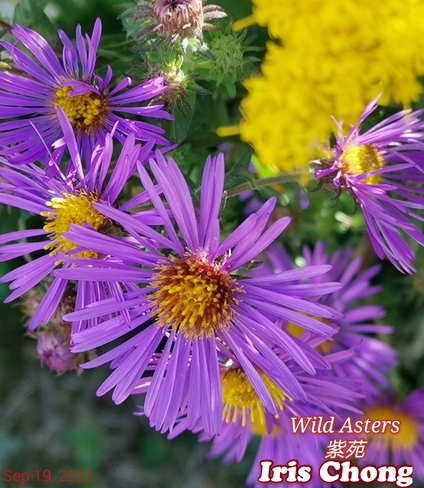 Sept 19 2021 21C Beautiful Sunday!:) Pretty wild purple Asters! Thornhill Thornhill, ON