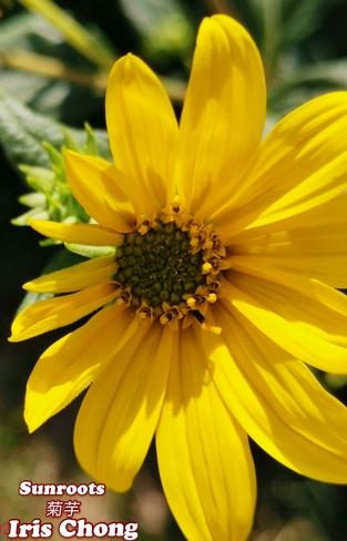 Sept 19 2021 21C Beautiful Sunday!:) Delightful wild Sunroot! Thornhill Thornhill, ON