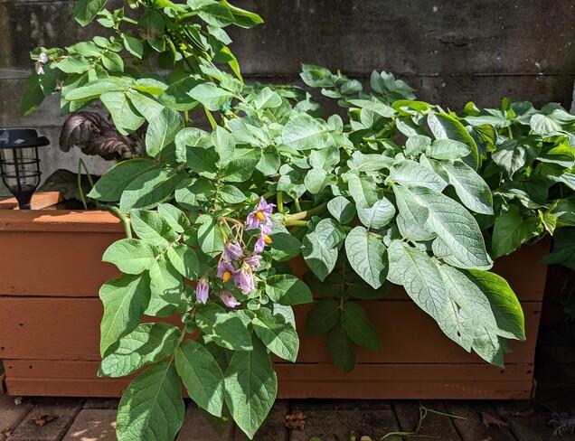 sweet potatoes plant Vancouver, BC