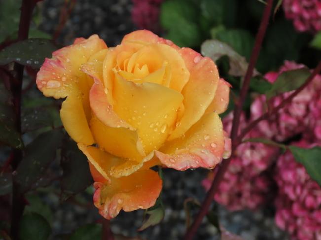 Raindrops On Roses!!! Nanaimo