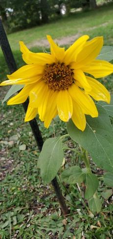 sunflower Glenboro-South Cypress, MB