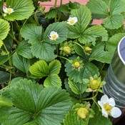 lot of strawberry flowers