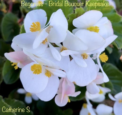White Begonias-Bridal Bouquet Keepsake:) Toronto, Ontario, CA