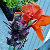 Fruits de la plante Canna Lily