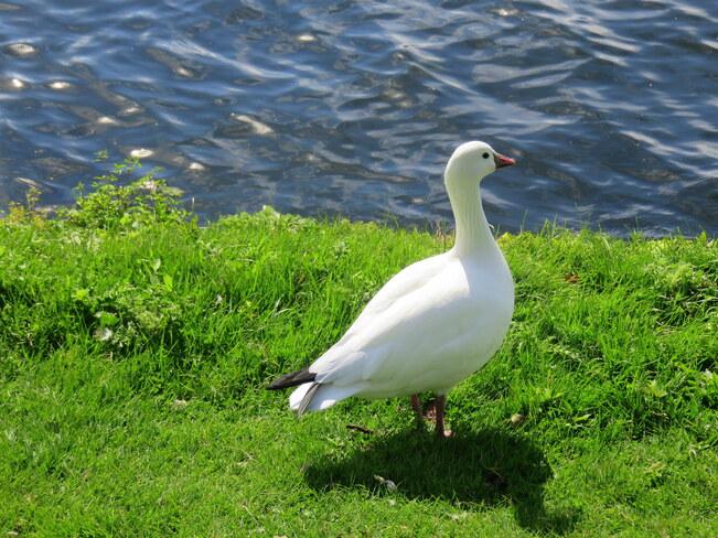 Beautiful snow goose Ottawa, ON