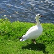 Beautiful snow goose