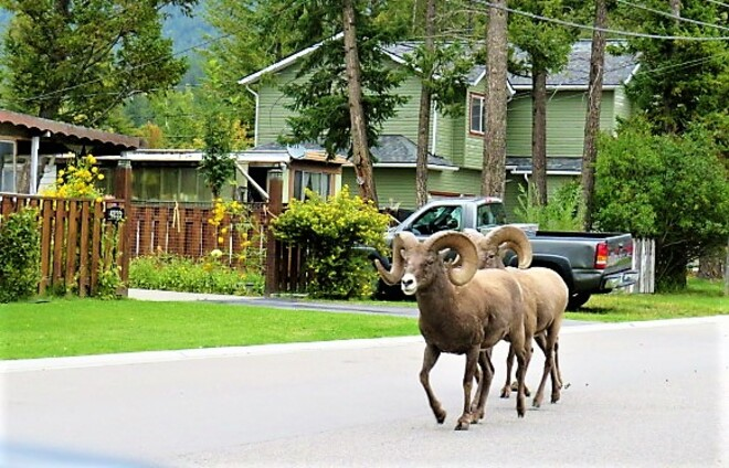 Bighorn Sheep Patrolling the streets of Radium Radium Hot Springs, BC