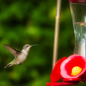 Hummingbird stopping for a fall drink…