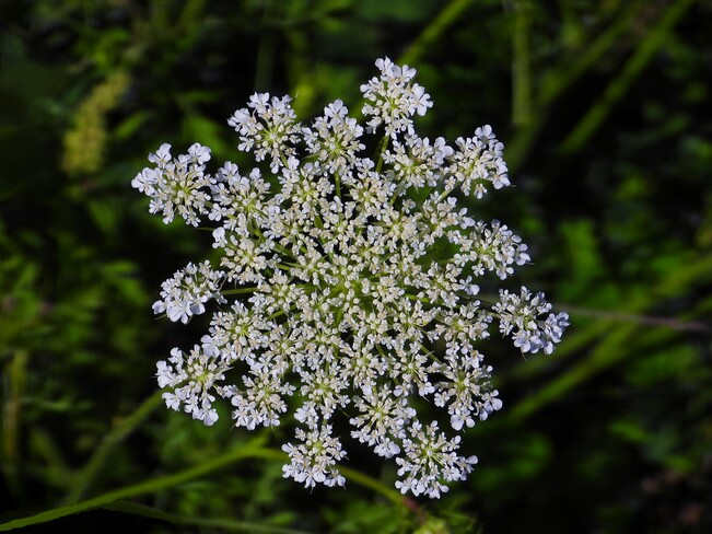 Queen Anne's Lace flower Cornwall, ON
