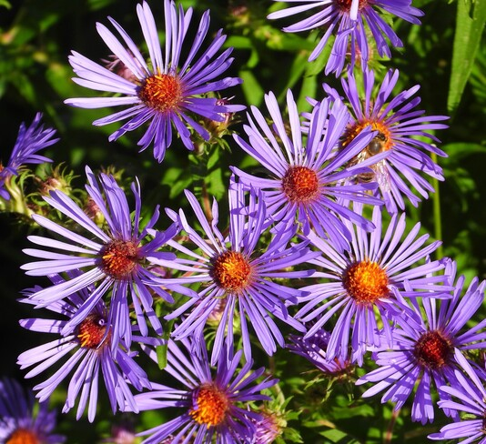 Wild Asters Cornwall, ON