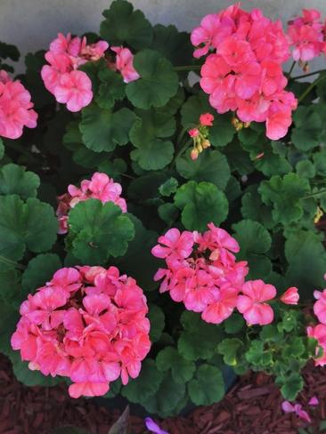 encore de belles fleurs. Joliette, QC