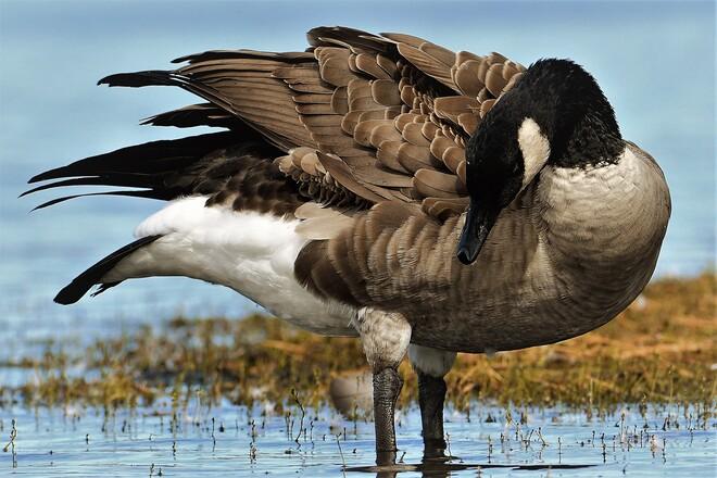 Goose Petawawa, ON