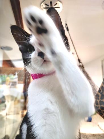 Ce chat veut des câlins. Drummondville, QC