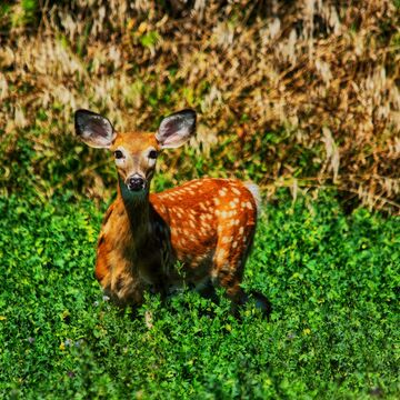 Fawn of this little one