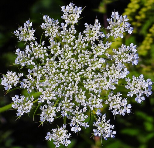 Queen Annes Lace flower Cornwall, ON