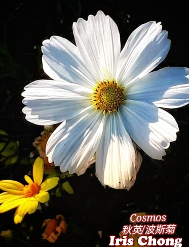 Sept 20 2021 23C Happy Monday:) Pretty White Cosmos in Thornhill Thornhill, ON