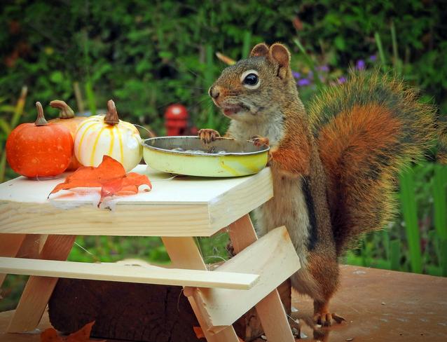 Reddie makes a pumpkin pie. Cobourg, ON